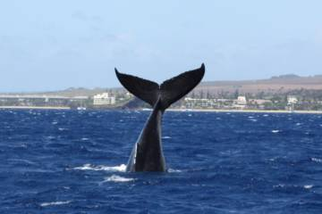 Welcoming In The New Year And The Humpback Whales!