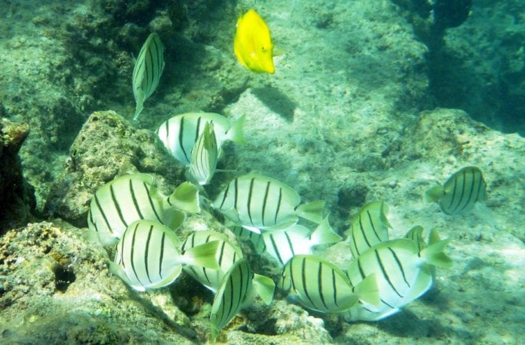 TANGS OF HAWAII - Four Winds Maui Snorkeling
