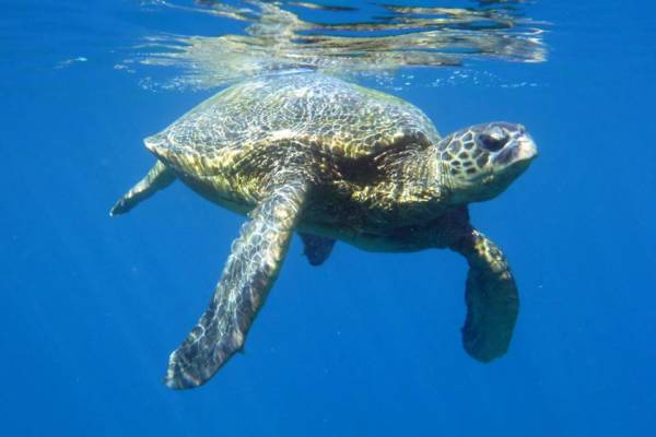 Snorkeling Maui With Hawaiian Green Sea Turtles