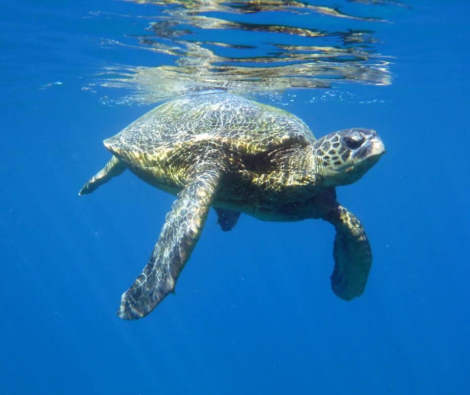 Snorkel With Hawaii Sea Turtles At