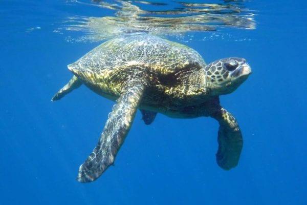 Four Winds II Coral Gardens Snorkel Hawaiian Sea Turtle