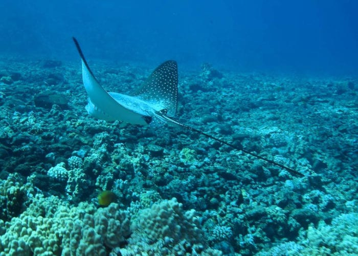 Four Winds II Maui Molokini Crater Snorkel Tour Spotted Eagle Ray By Jessica R