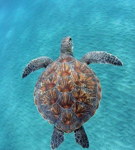 Four Winds II Maui Turtle Tuesday 4