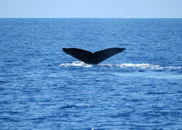 Four Winds II Molokini Snorkel And Humpback Whale Watch Fluke Up 1