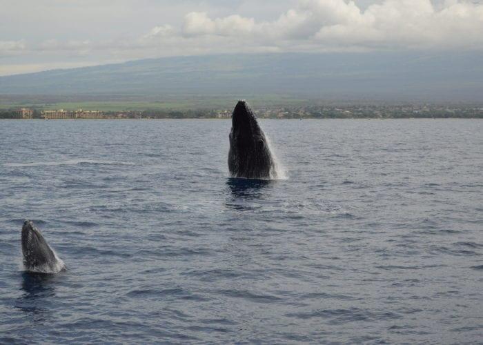 Four Winds Maui Molokini Snorkel Humback Fun 1
