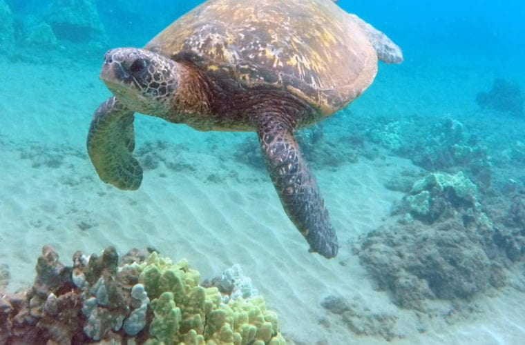 Turtle Town: Snorkel With Hawaiian Green Sea Turtles