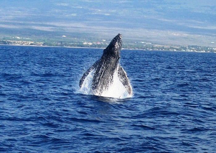 Humpbacks 3 1 030