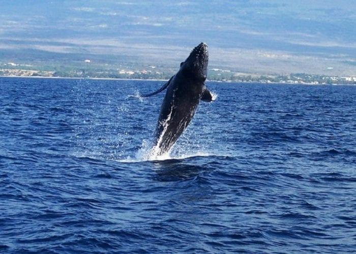 Humpbacks 3 1 031