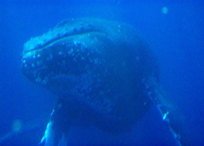 Humpbacks 3 4 027