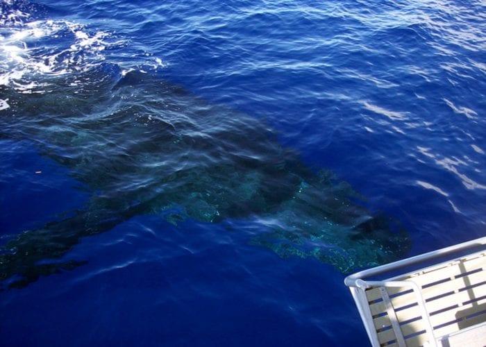 Humpbacks 3 4 035