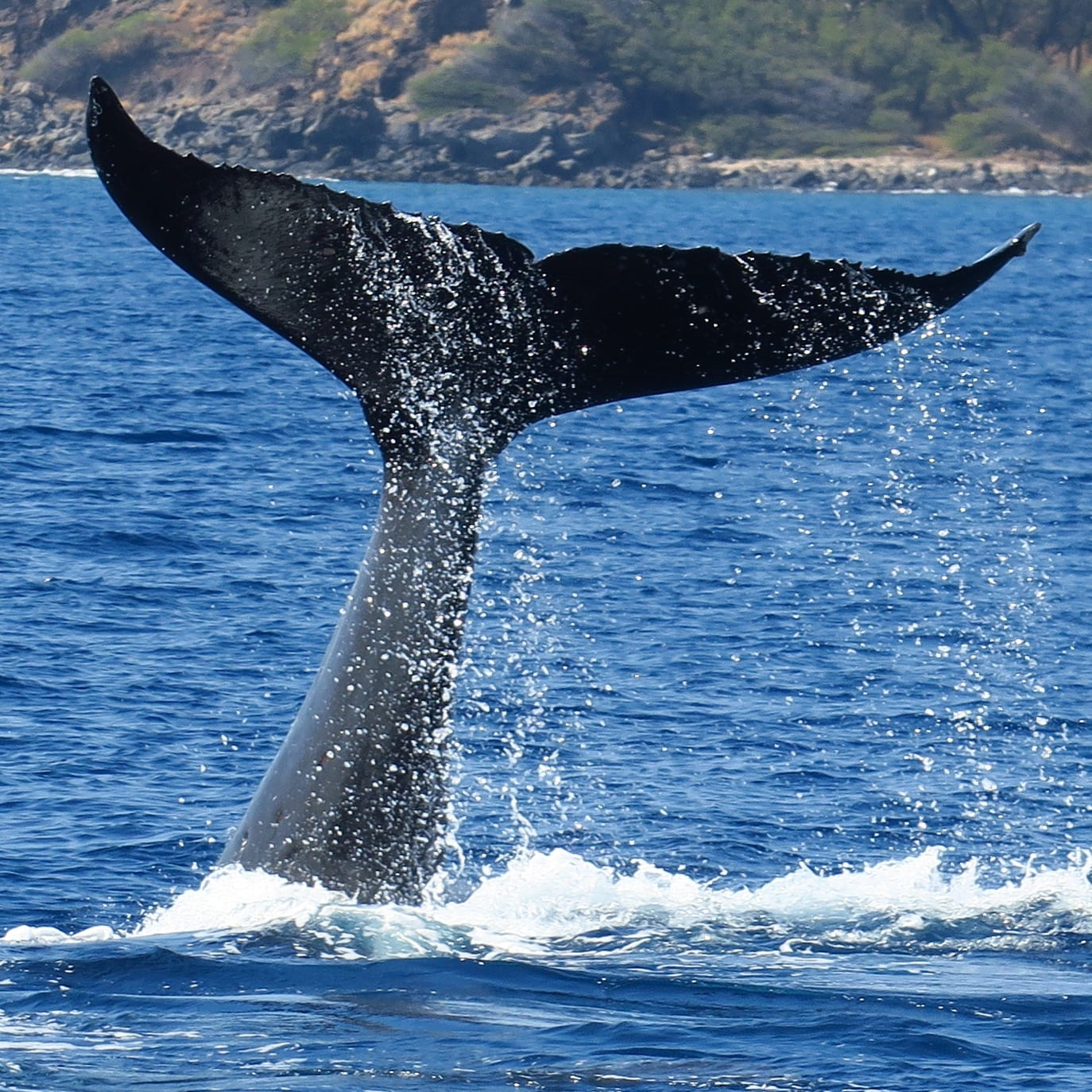 humpback whale facts - HD1374×1374