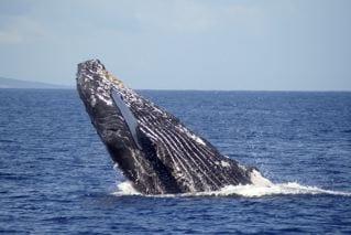 Whale Season On Maui