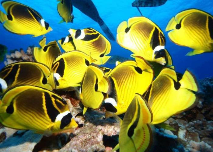 Maui Butterfly Fish