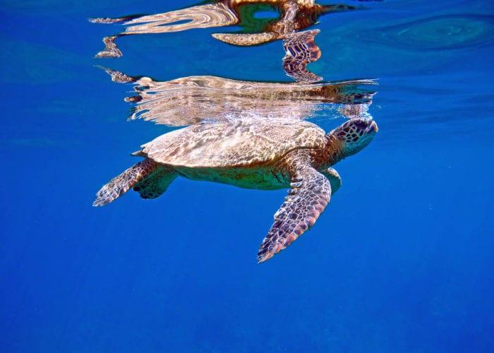 MauiMagic Turtles 028