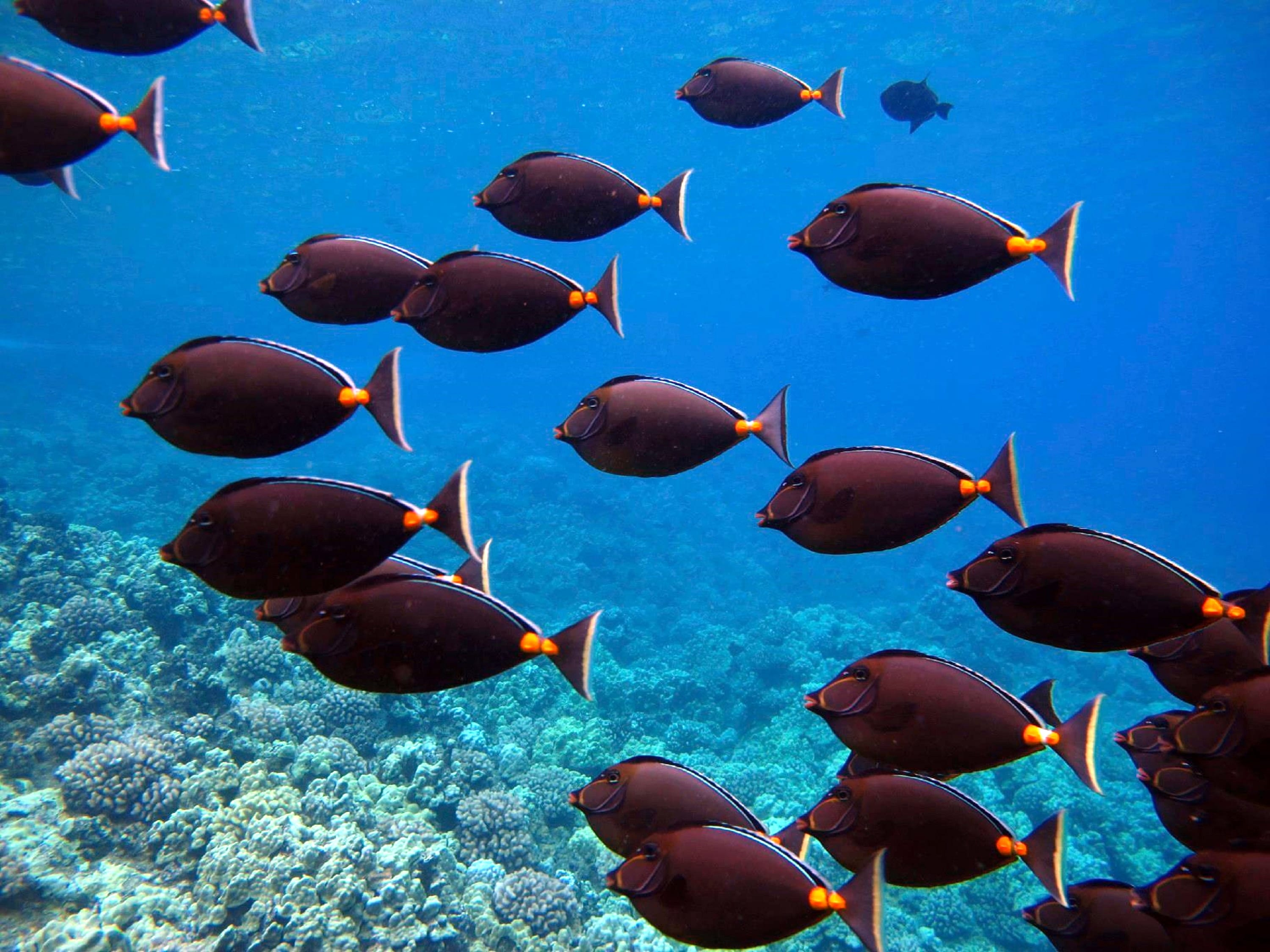 Snorkel molokini crater maui hawaii with four winds ii for Fish species hawaii