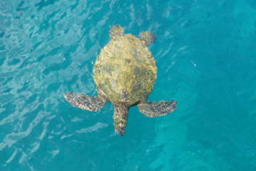 Snorkeling With Maui Sea Turtles