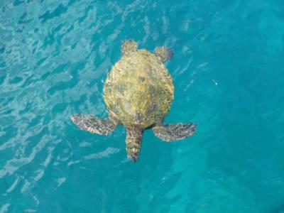 Snorkeling With Maui Sea Turtles