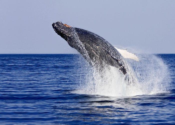 Whale Breach Wide