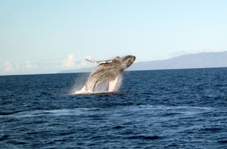 Maui Whale Watching Tours: Whale Watching Maui