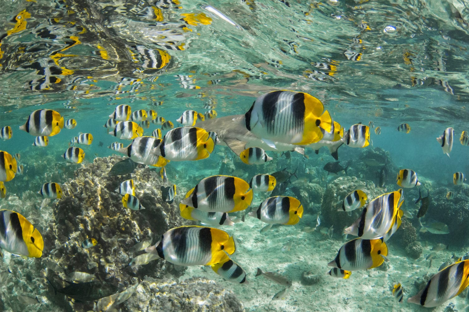 Pacific Double Saddle Butterflyfish (Chaetodon Ulietensis)