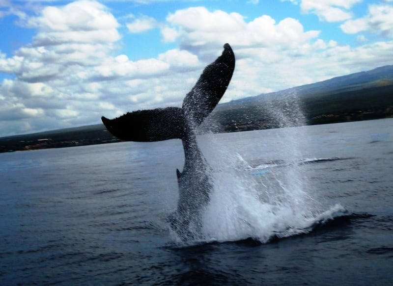 Humpbacks 3 1 042