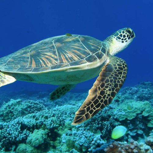 Turtle Under The Ocean