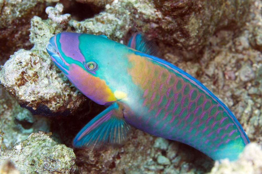 parrotfish-in-de-red-sea