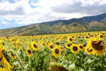 Holy Sunflowers!