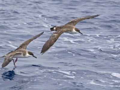 A Pair Of Great Shearwater, Ardenna Gravis In Flight