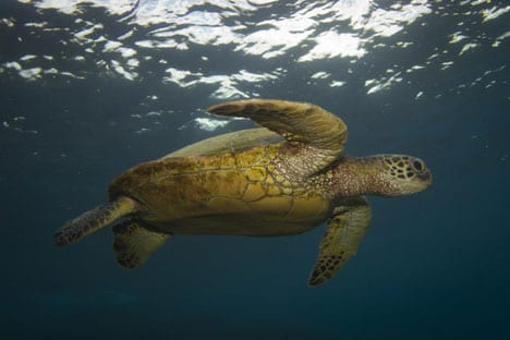 Green turtles are commonly found in the Pacific