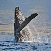 Whale Watching Maui - Whale Breech