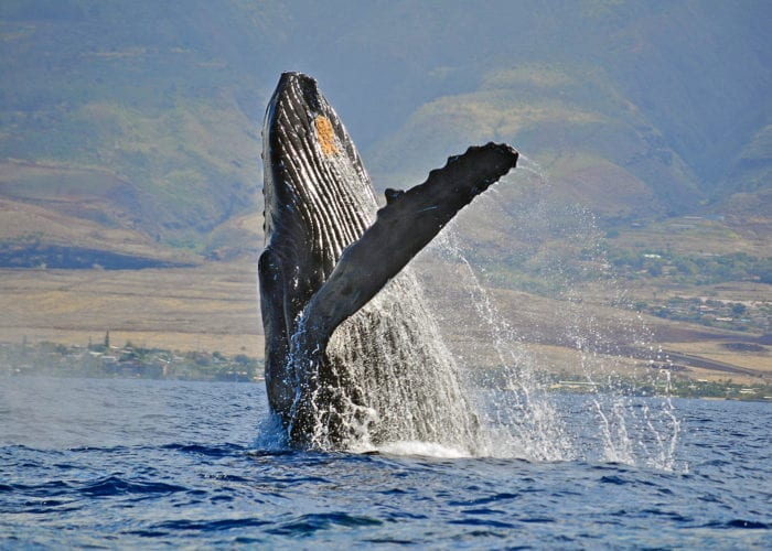 Whales Large Humpback
