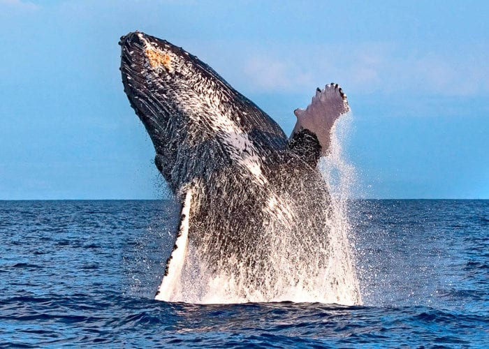 Whales Whale Breach Maui 2